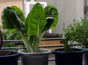窓際菜園!